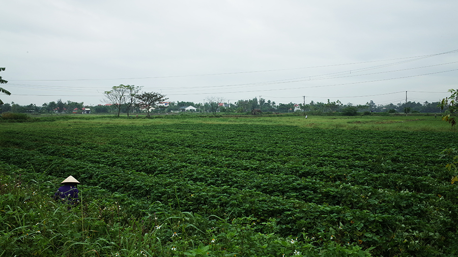 ベトナム「ホイアン」の田園風景